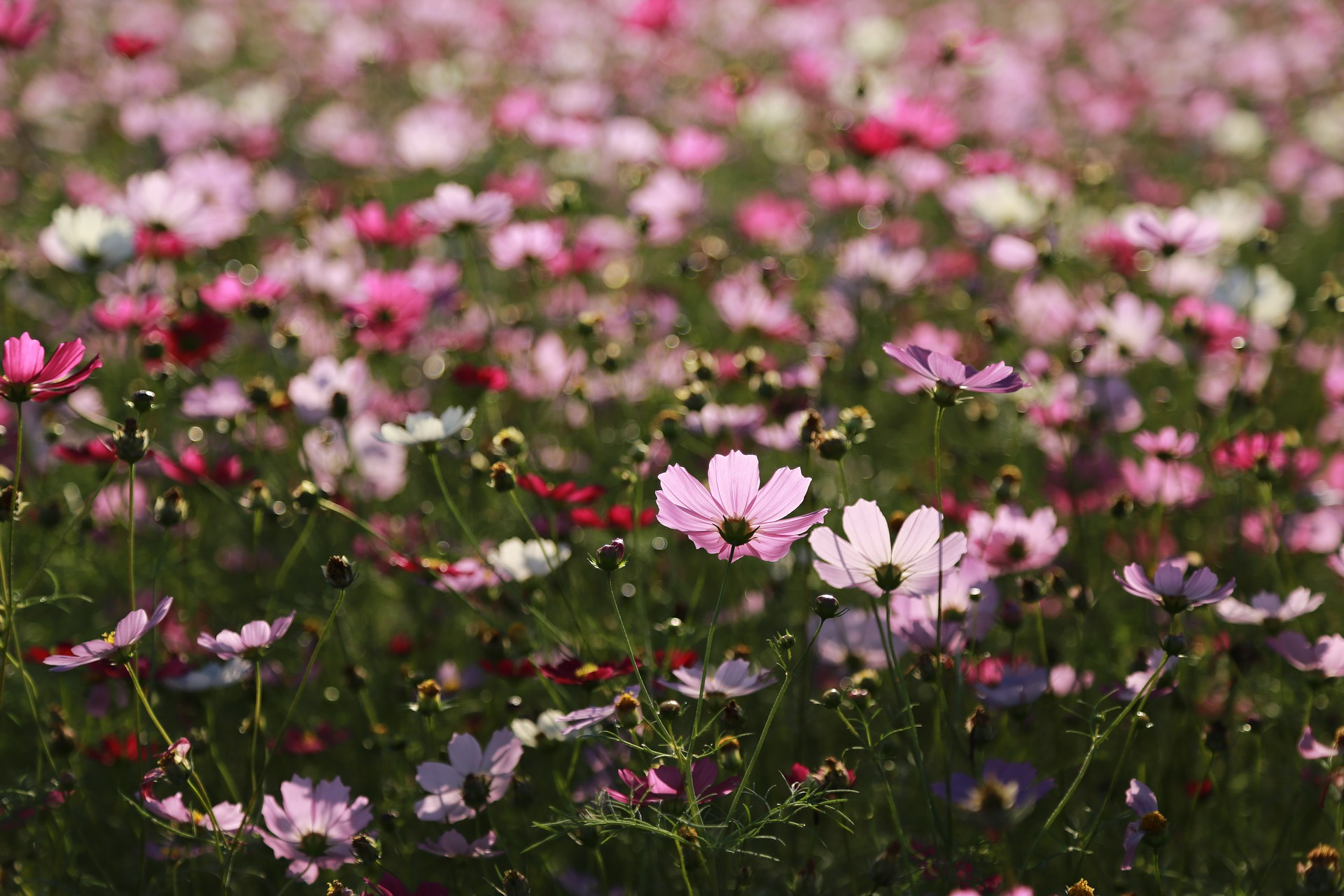 summer-flowers-cosmos