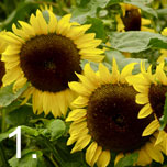 easy grow sunflowers