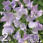 easy grow sweetpeas
