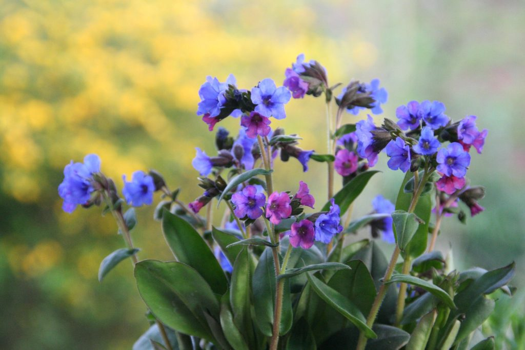 plants-to-attract-bees-to-your-garden-Pulmonaria.