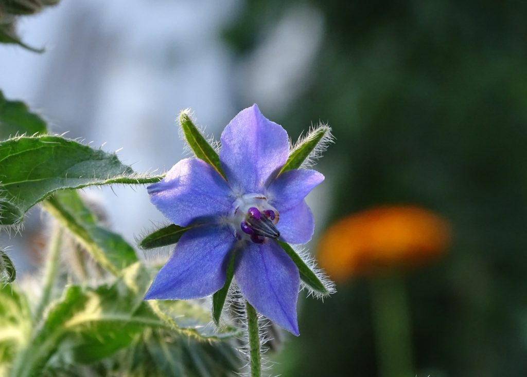 plants-to-attract-bees-to-your-garden-borage.