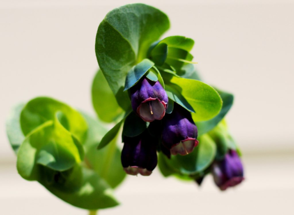 plants-to-attract-bees-to-your-garden-cerinthe-major-purperascens