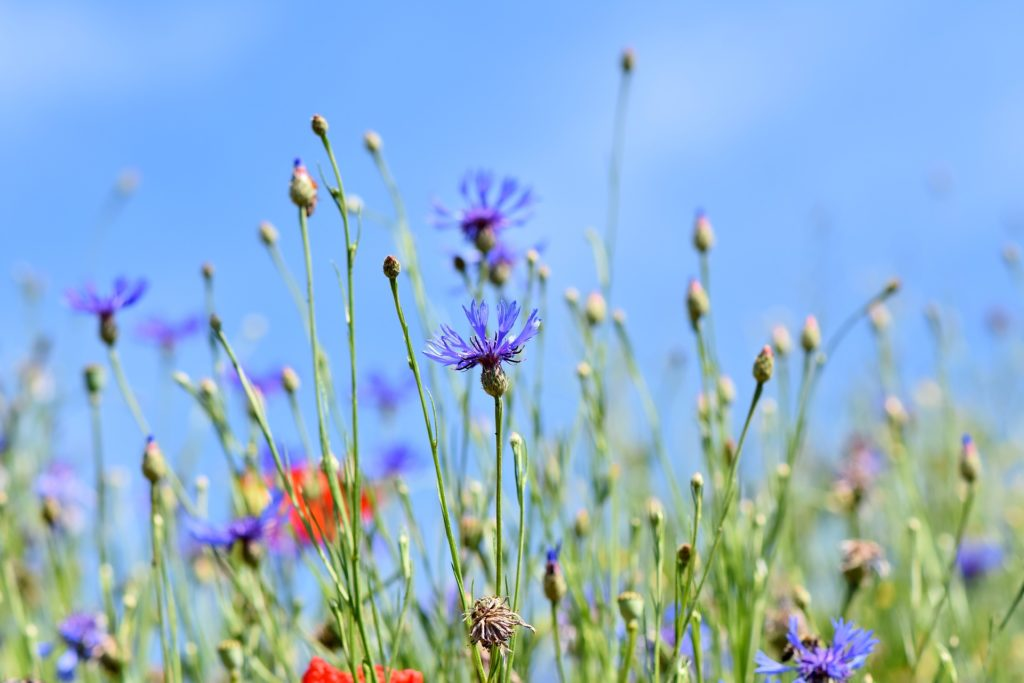 plants-to-attract-bees-to-your-garden-cornflower.