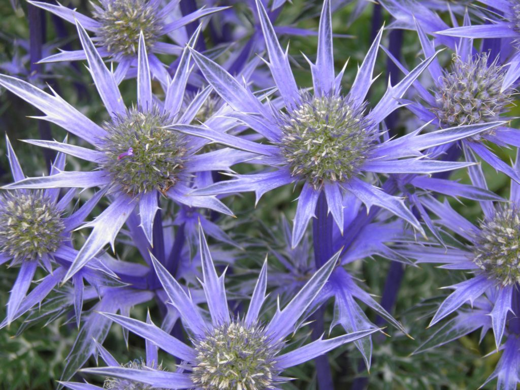 plants-to-attract-bees-to-your-garden-eryngium.