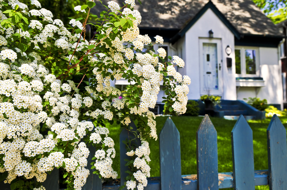 Front garden with blue fence and white flowers