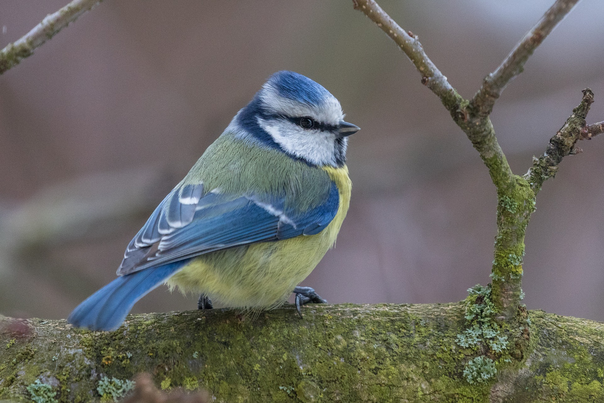 Close up of Blue Tit
