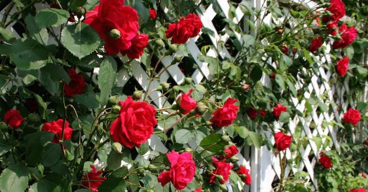 garden-plants-for-screening