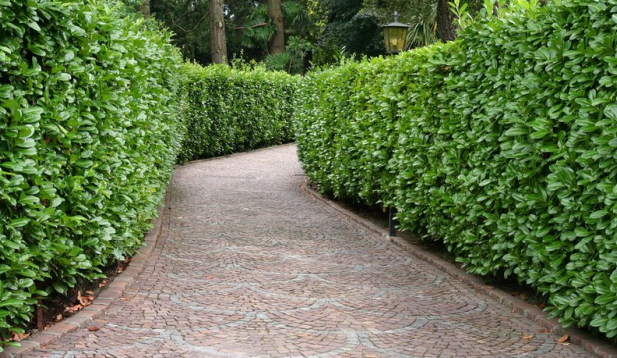 hedge-lined-pathway.png