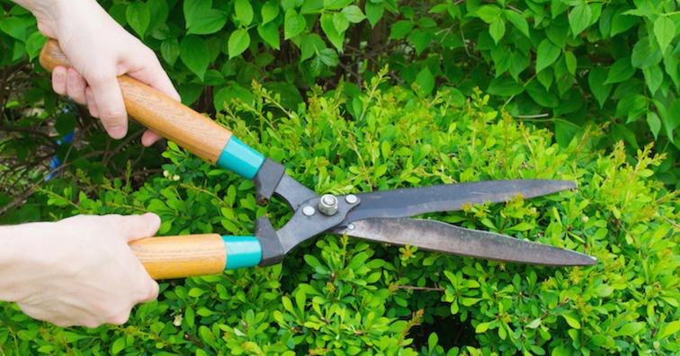 hedge-shears