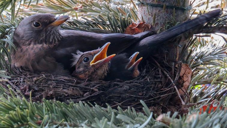 birds-nesting-in-hedges
