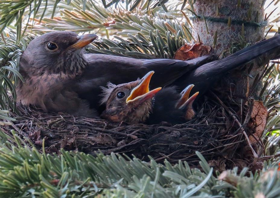 blackbird-nest
