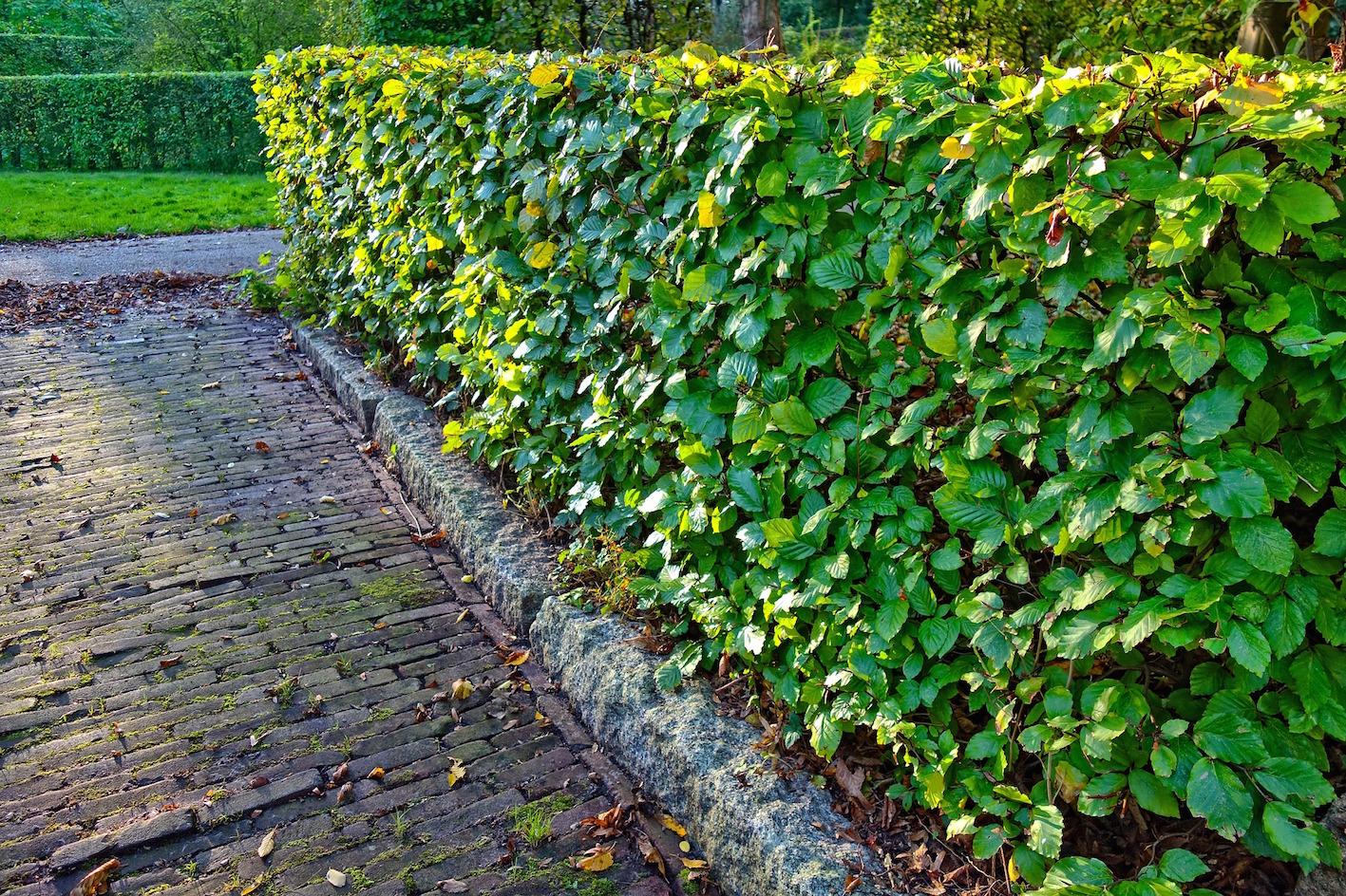 garden-hedge