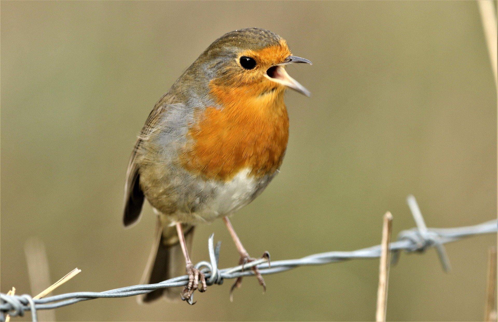 singing-robin