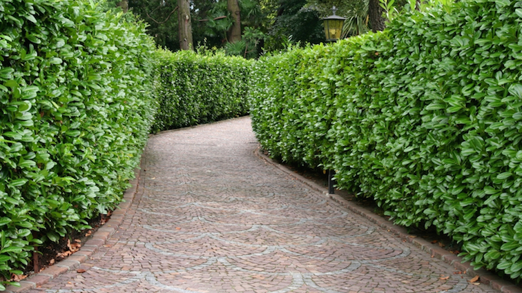 Maintaining-Your-Cedar-Hedge-featured